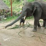 child-feeding-elephant-bananas