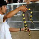 banded-krait-at-bangkok-snake-farm
