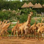 giraffes-3