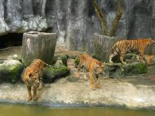 Tygří Zoo s krokodýli včetně oběda