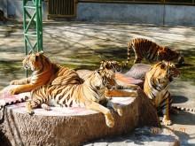 tygří ZOO